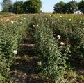 Фото питомника саженцев роз. Саженцы роз.