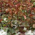 фото вегетирующих саженцев роз. Саженцы роз в стаканчиках.