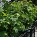 Вегетирующие саженцы винограда. Саженцы винограда в стаканчеках.